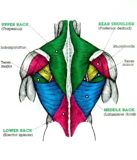 Pull ups anatomie: leer pull ups