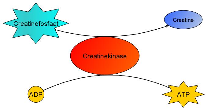 creatine spieren