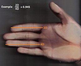 2D 4D ratio wijsvinger ringvinger
